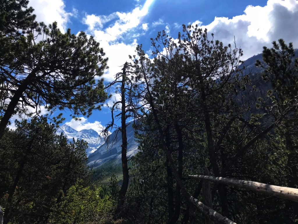 Pine - Tropical and subtropical coniferous forests